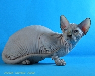 CANADIAN SPHYNX JOSER CANDY
