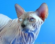 CANADIAN SPHYNX JOSER CLEMENT