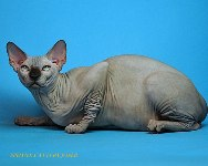 CANADIAN SPHYNX JOSER FORD