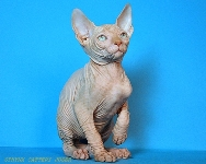CANADIAN SPHYNX JOSER WITHELL