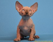 CANADIAN SPHYNX JOSER BEAUMONT