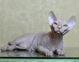 CANADIAN SPHYNX JOSER EXTREME